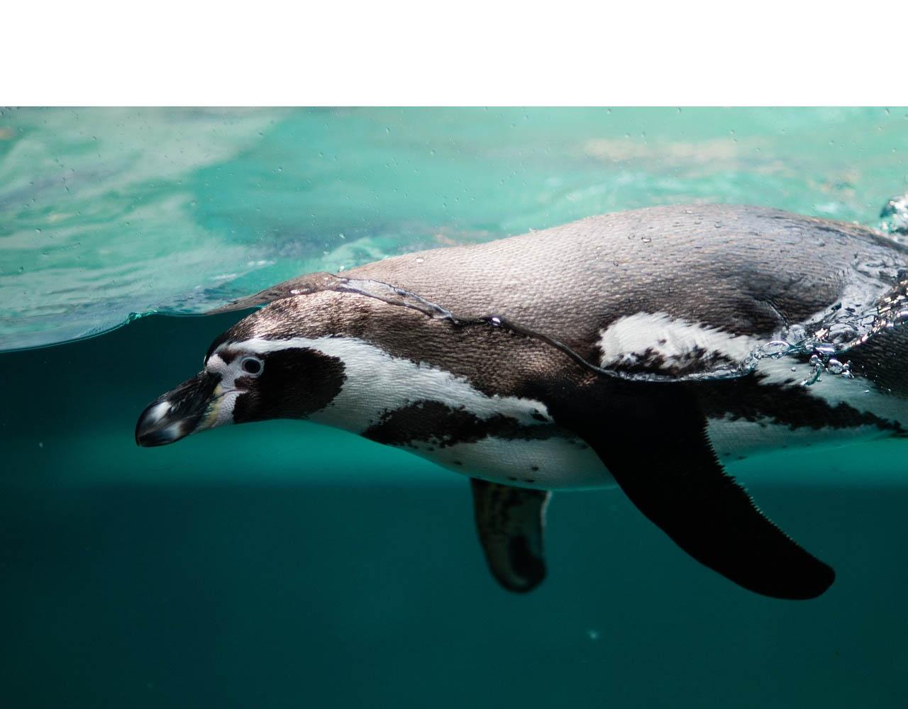 Pon un pingüino en tu casa